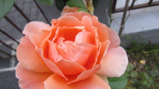 2013Jun22_Rose3 (2)